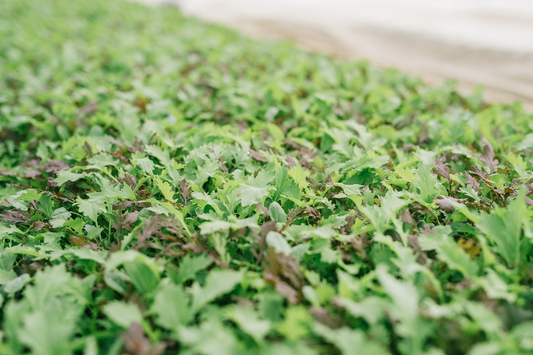 Boston Organics - Baby Greens Growing at Queen's Greens