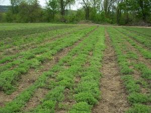 Happy Valley Herb Field