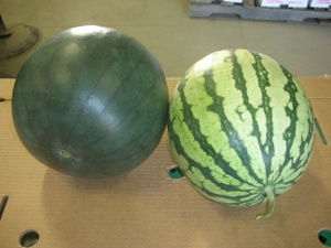 Atlas Farm Organic Watermelon