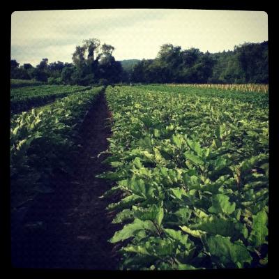 Atlas Farm Eggplant Field