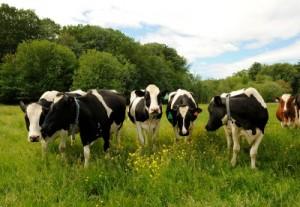 Shaw Farm Cows