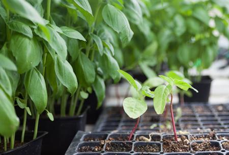 Organic Basil Plant Growing | Boston Organics