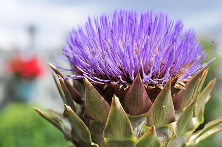 Artichoke Flower | Pixabay