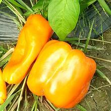 Atlas Farm Organic Bell Pepper