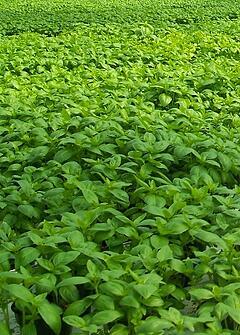 Basil Field | Happy Valley Organics