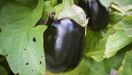 eggplant_growing_atlas