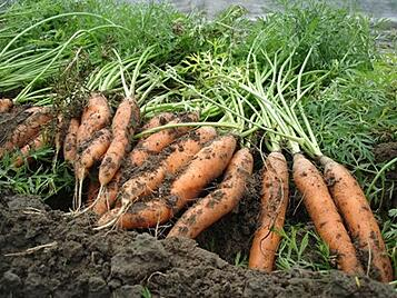 atlas-carrots-ground-397px