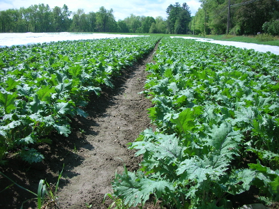 Atlas Farm Kale Field