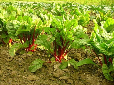 Atlas Farm Chard