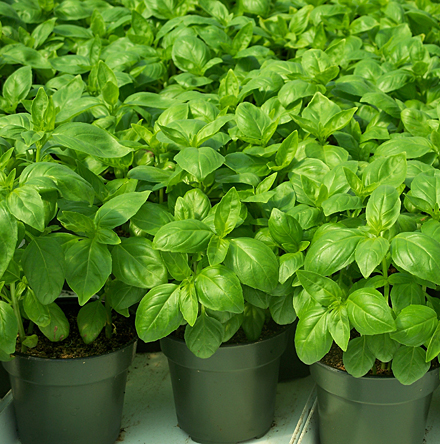 Happy Valley Organics Potted Basil