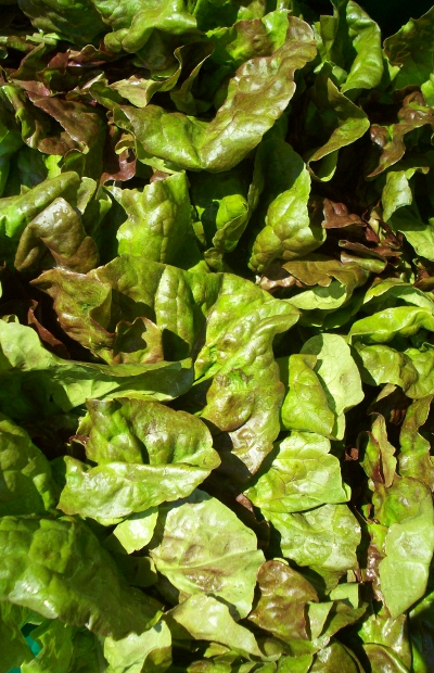 Atlas Farm Red Leaf Lettuce