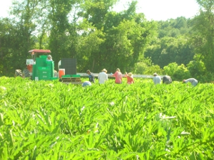 Harvesting Picking Cucumbers