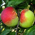 Cortland Apple (c) Wikimedia Commons   Glysiak