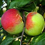 Cortland Apple (c) Wikimedia Commons | Glysiak