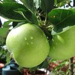 Granny Smith Apple (c) Wikimedia Commons