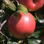 Honeycrisp Apple (c) Wikimedia Commons   Mickey Moose