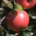 Honeycrisp Apple (c) Wikimedia Commons | Mickey Moose