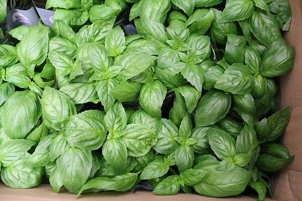 Potted_basil-1000px