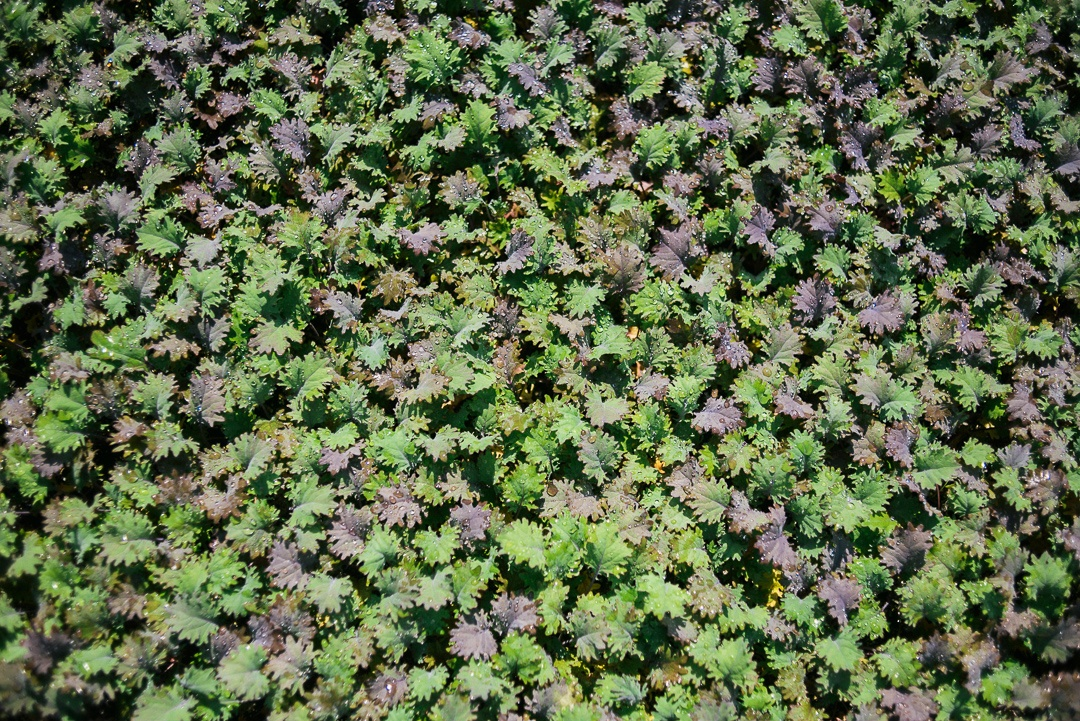 Boston Organics - Greens growing at Atlas Farm.