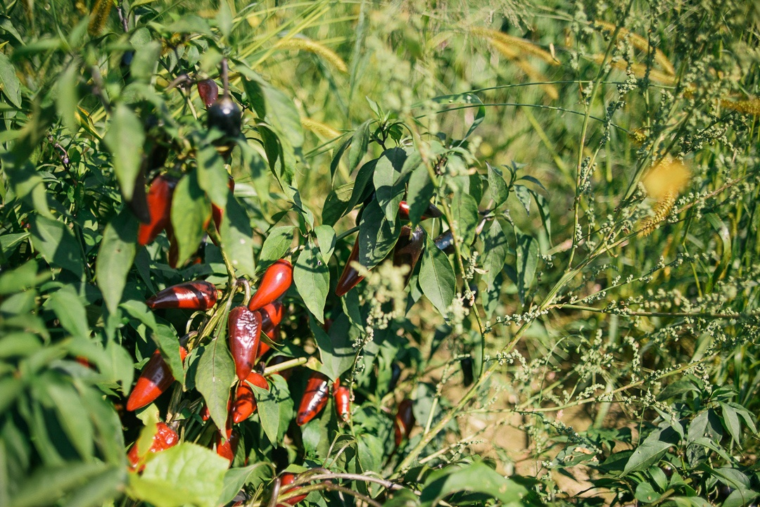 Hot Peppers Growing at the Kitchen Garden Farm
