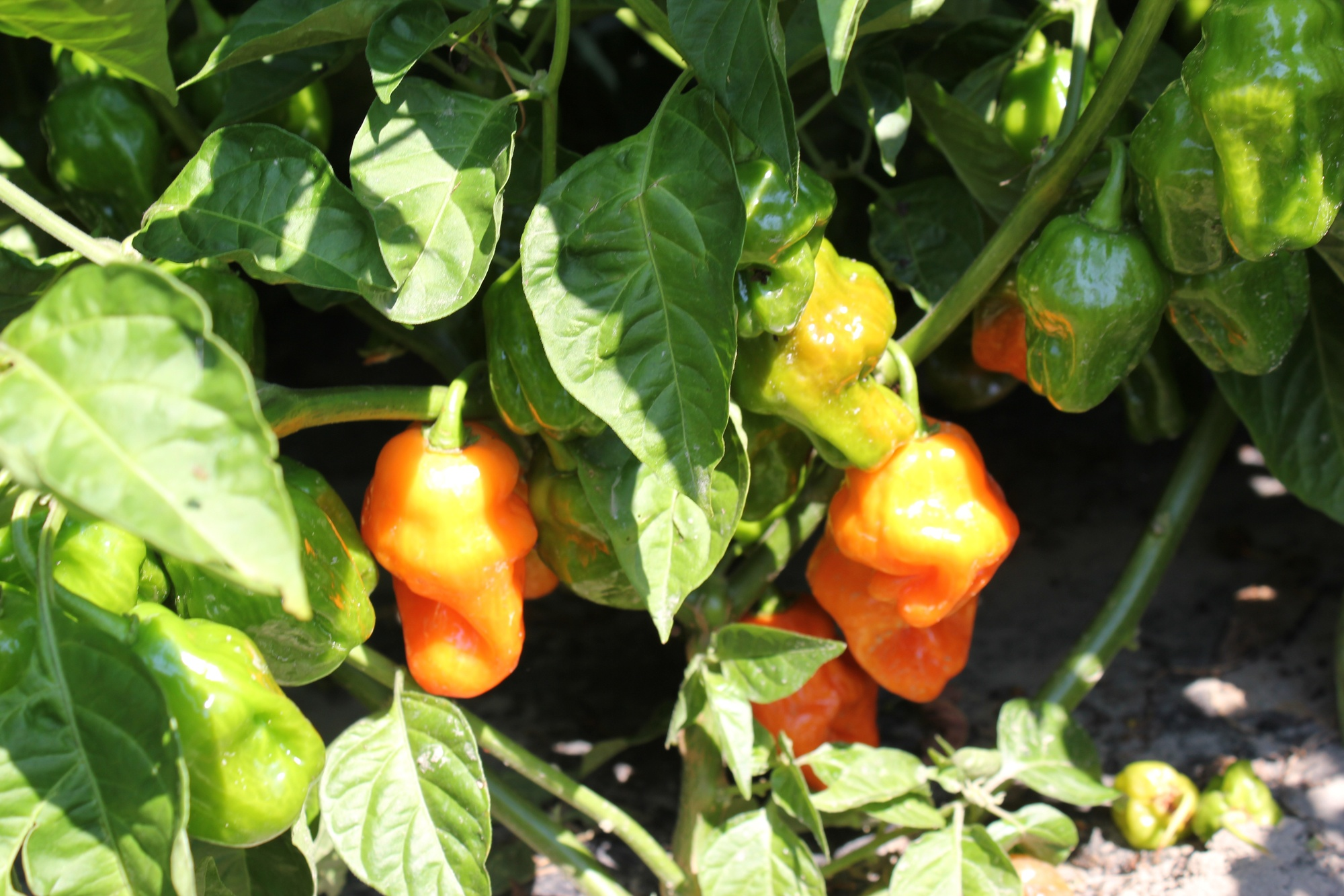 Boston Organics - Habanero Peppers