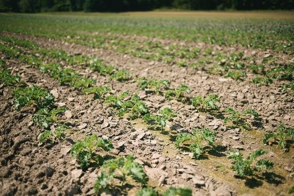 Atlas Farm Organic Kale Field | Boston Organics