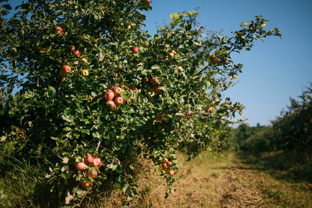 Organic Apple Tree New England | Boston Organics