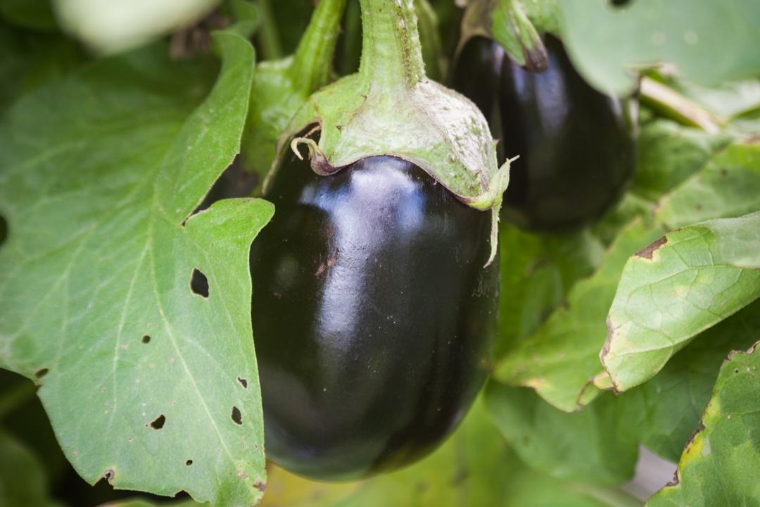 Boston Organics - Eggplant