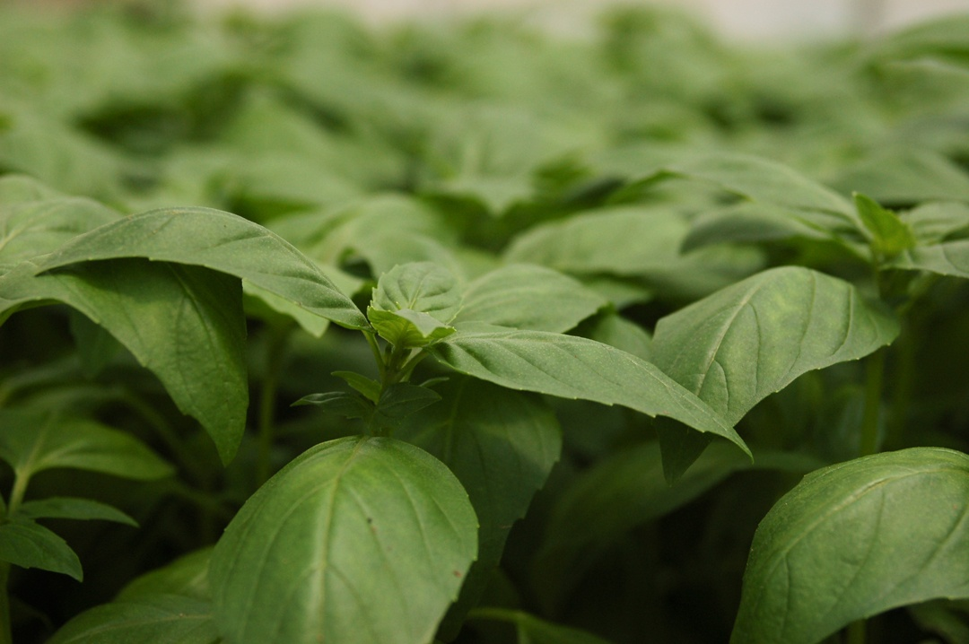 Boston Organics - Basil