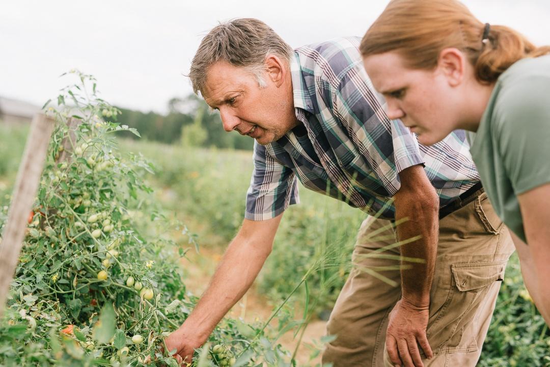 Joe Czajkowski examines his cherry tomatoes