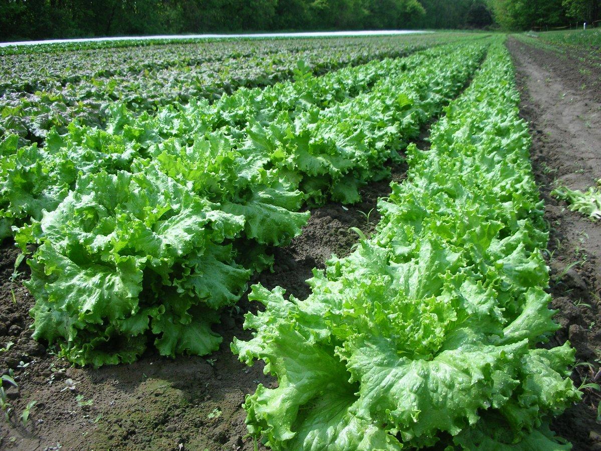 Boston Organics - Atlas Farms Lettuce