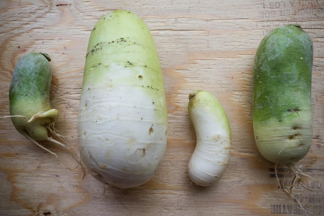 Boston Organics - Green Meat Radish