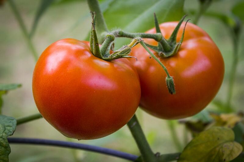 Tomatoes on the Vine | Boston Organics