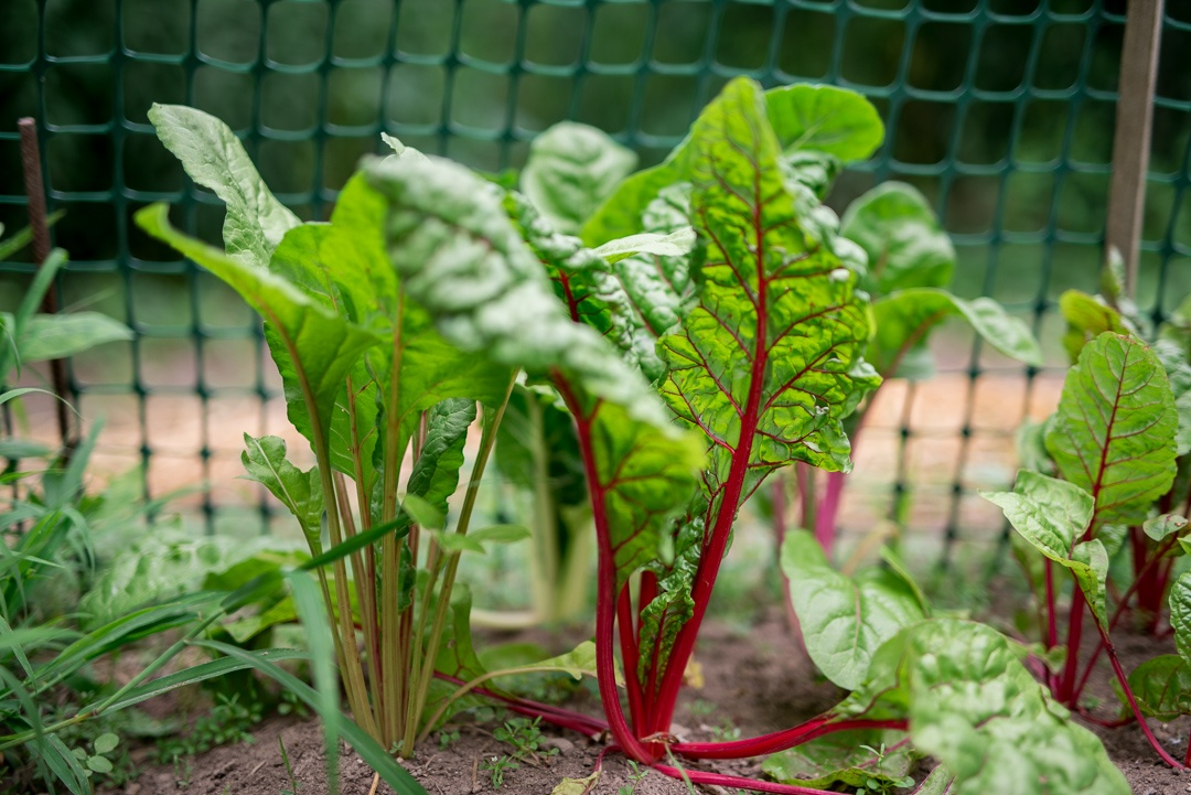 Happy chard in the garden.