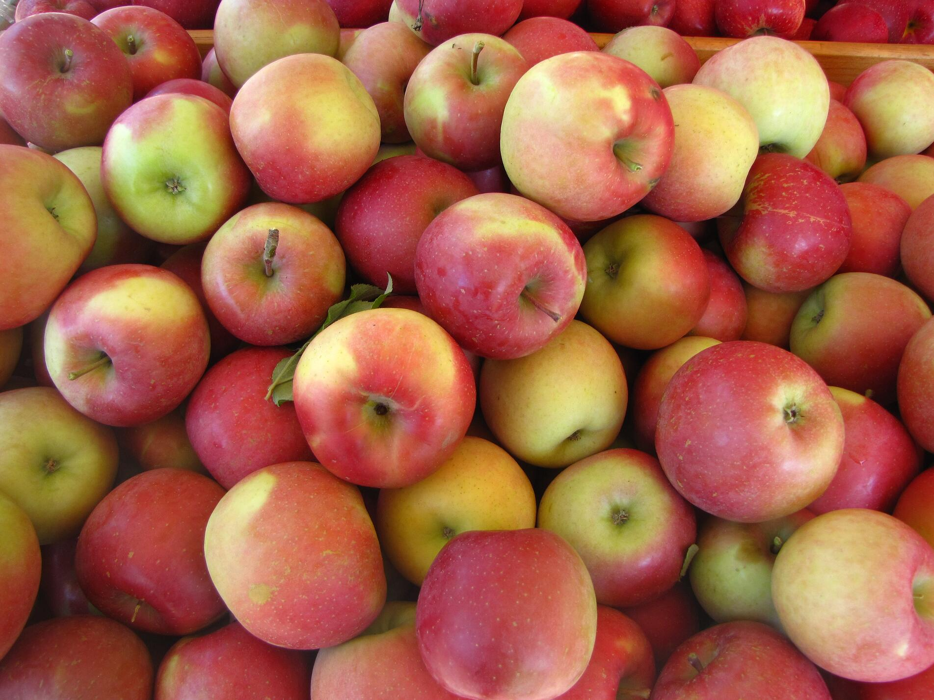 mcintosh apples.jpg
