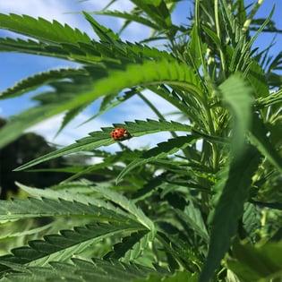 lady_bug_bravo_botanicals_600px