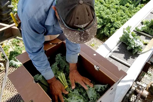 atlas_farm_newsletter_harvest_green_kale_600px