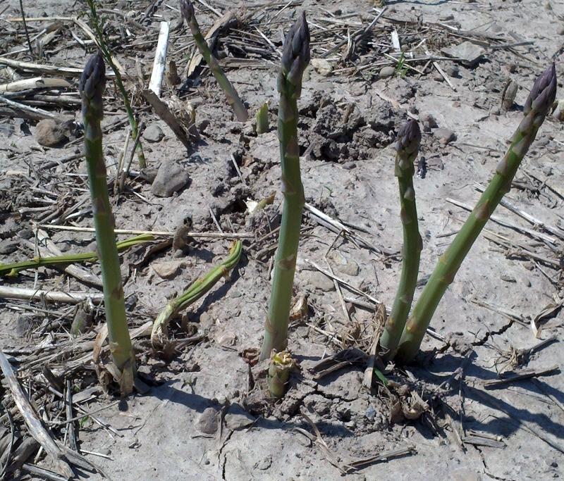 asparagus growing   Pedersen Farms