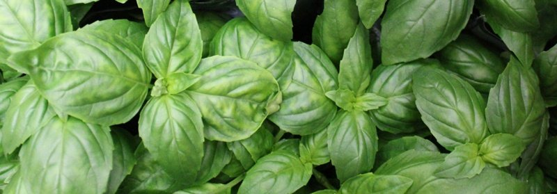 basil leaves | Boston Organics
