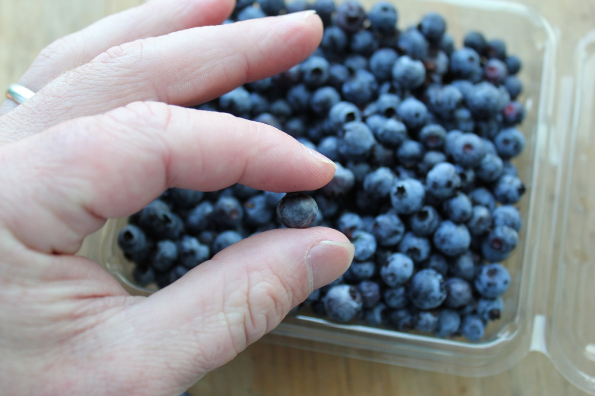 Organic Wild Blueberries in Hand | Boston Organics