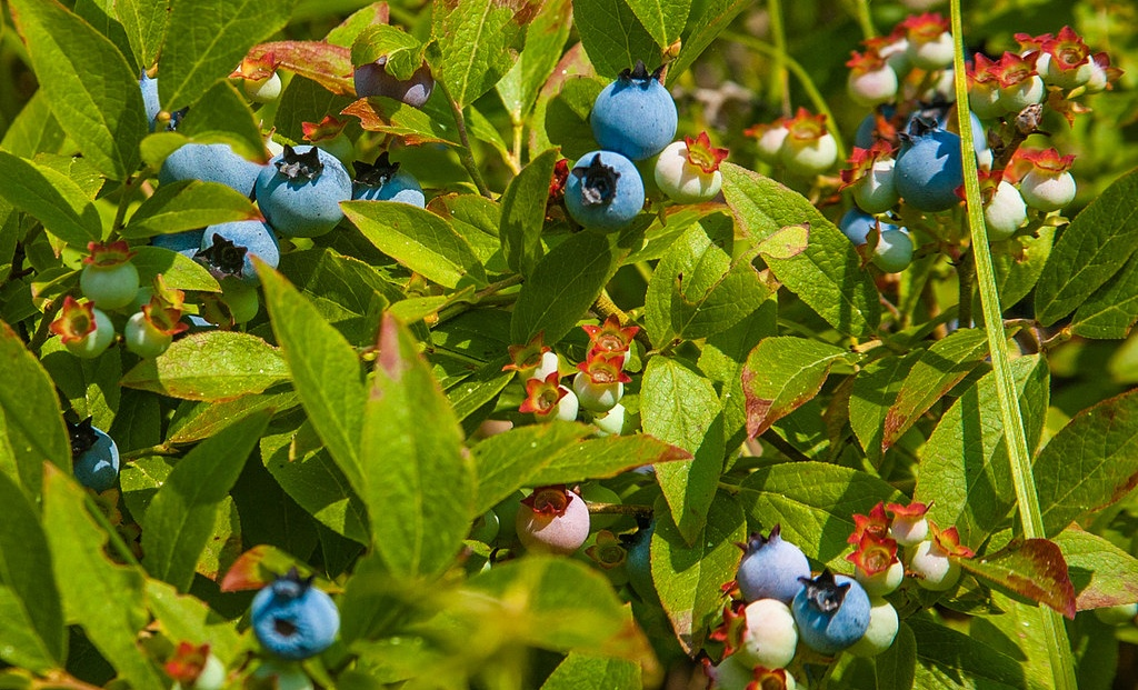 Wild Blueberry Bush | Paul VanDerWerf (Flickr)