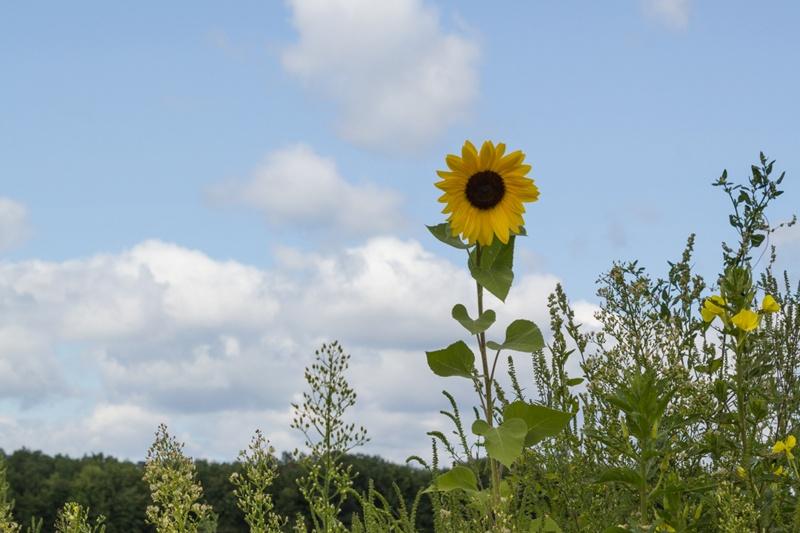 Summer Sunflower   Boston Organics