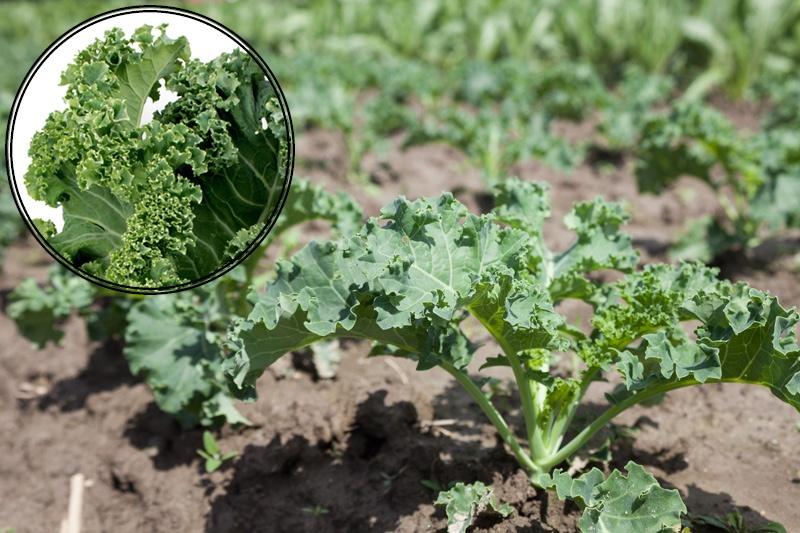 Curly Leaf Kale   Boston Organics