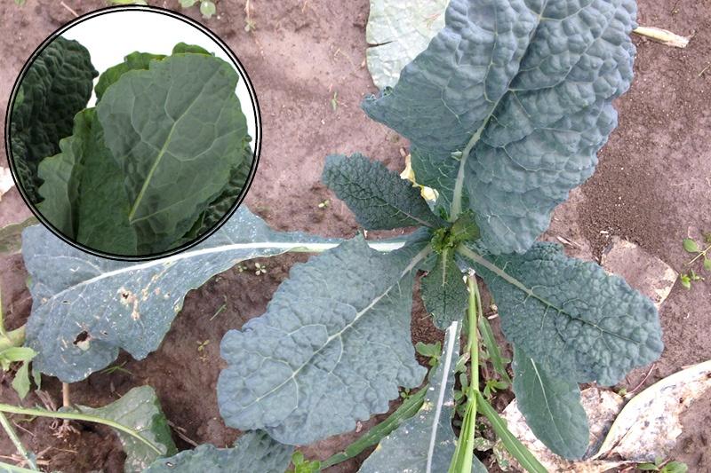 Lacinato Kale | Boston Organics