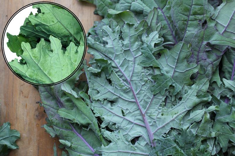 Red Russian Kale   Boston Organics